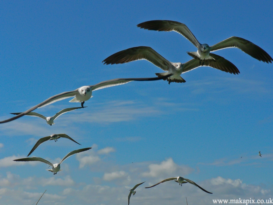 seagulls ,Mexico 2006
