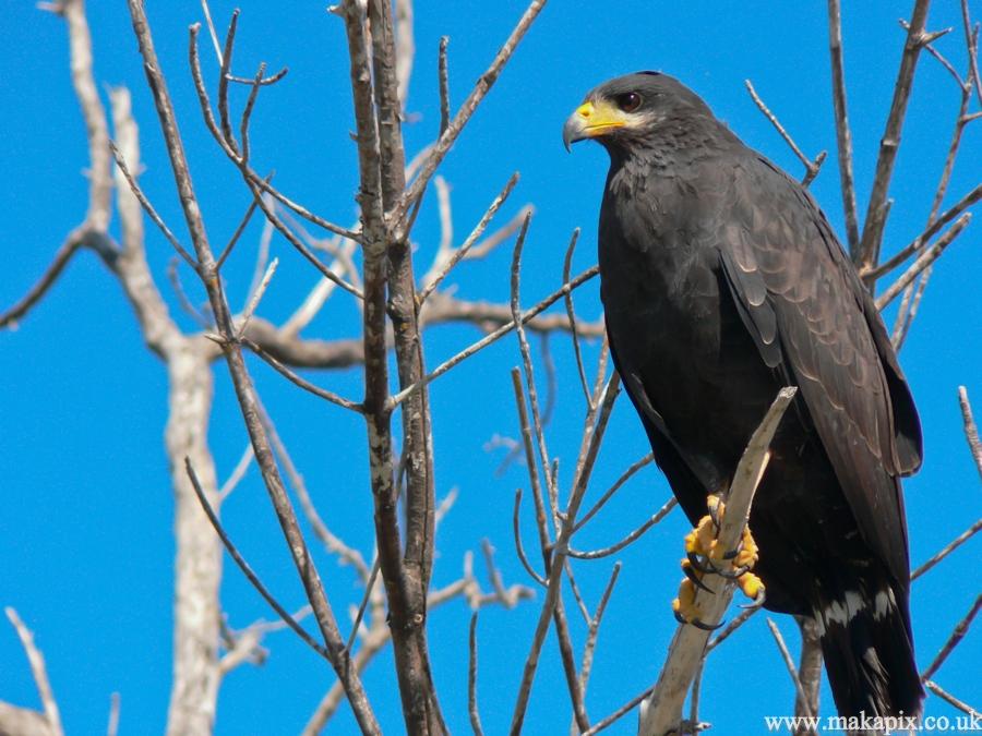 eagle ,Mexico 2006