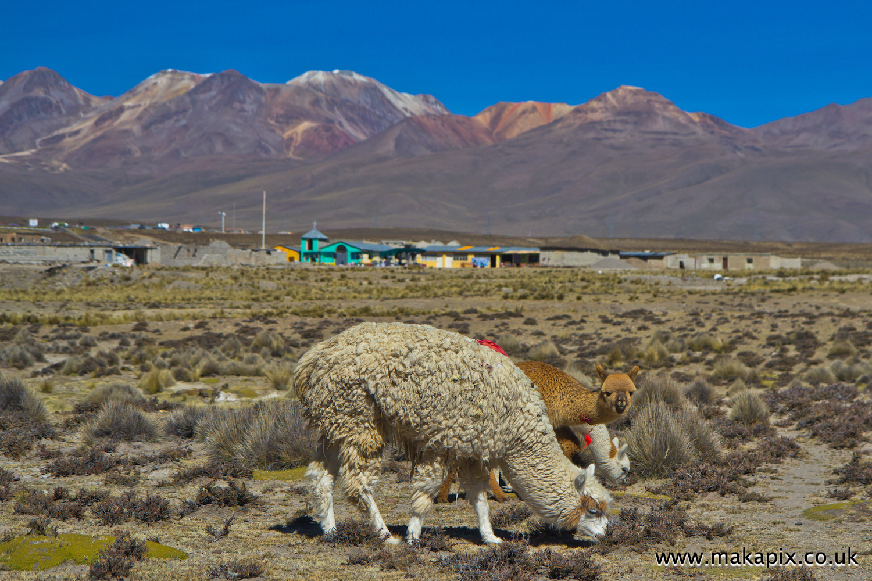 Alpacas and volcanoes , Arequipa, Peru