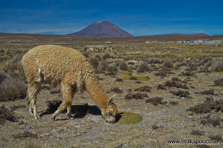 Alpacas and Volcano Misti, Arequipa, Peru