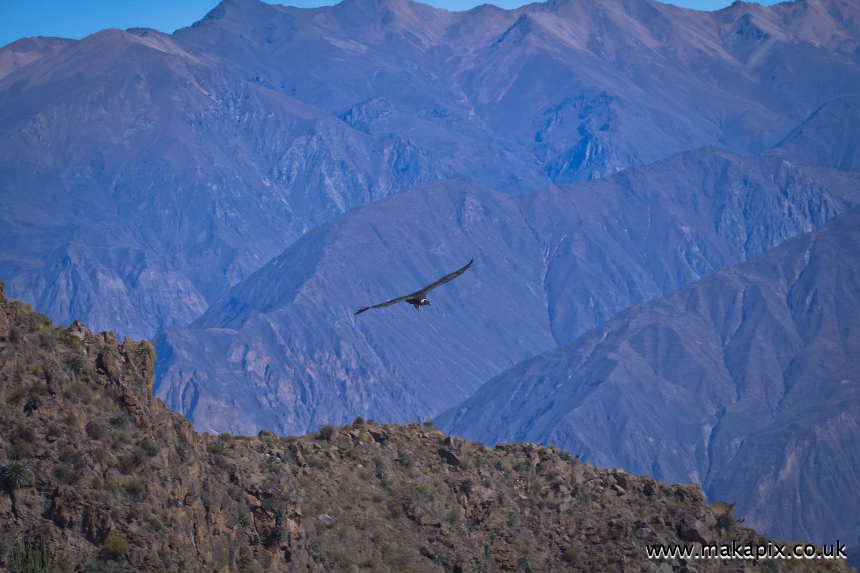 Andean condors circle above the Colca Canyon, Peru