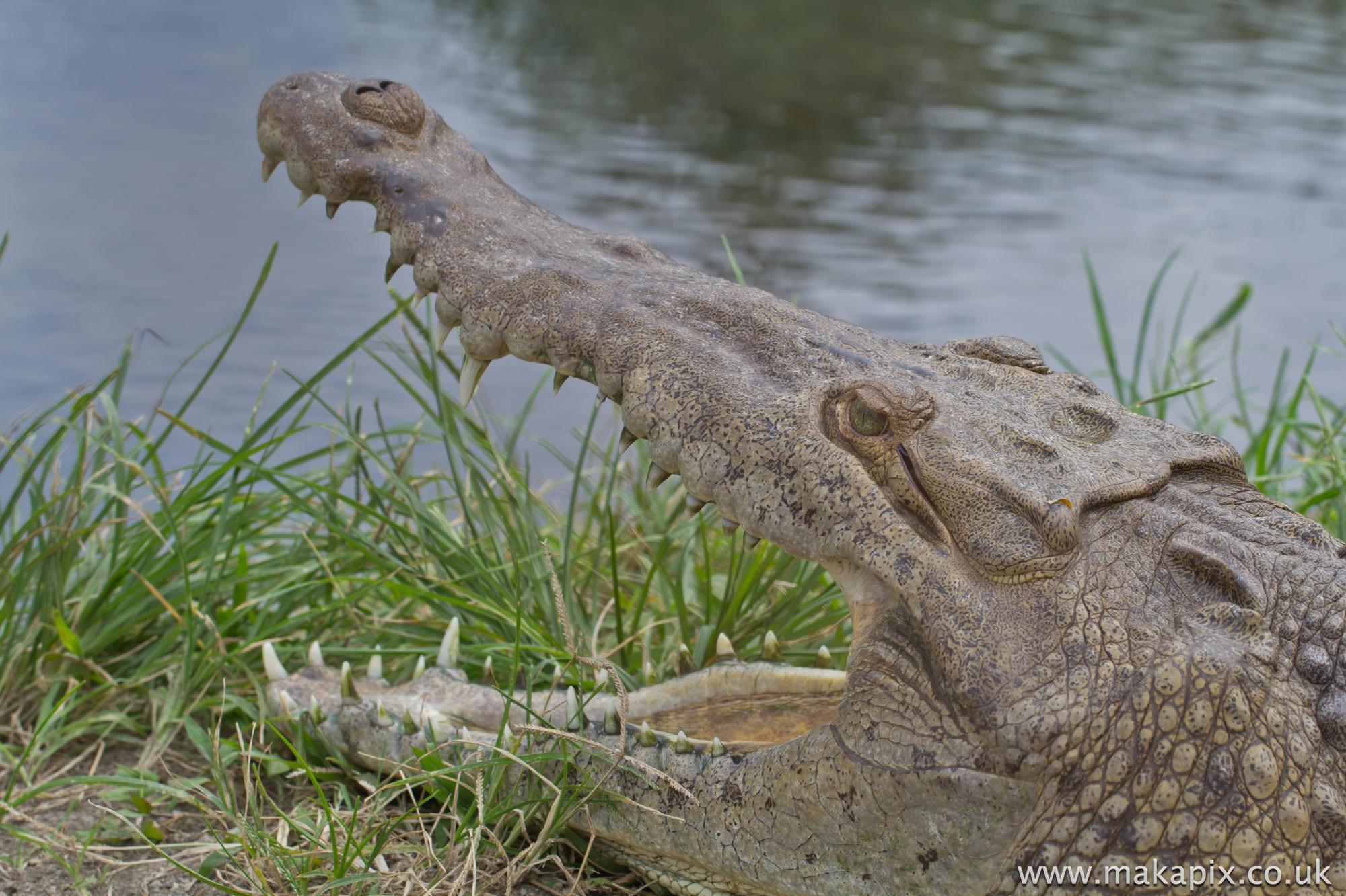 Crocodile, Costa Rica 2014