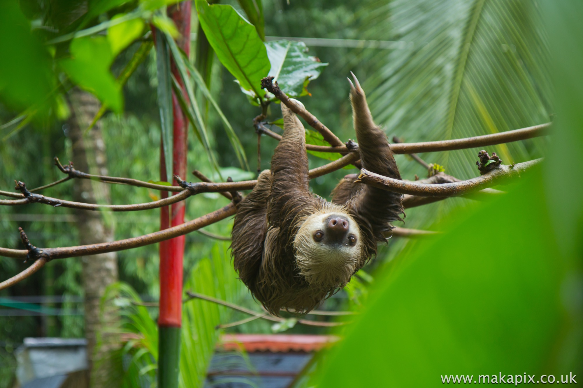 Two Toed Sloth, Costa Rica