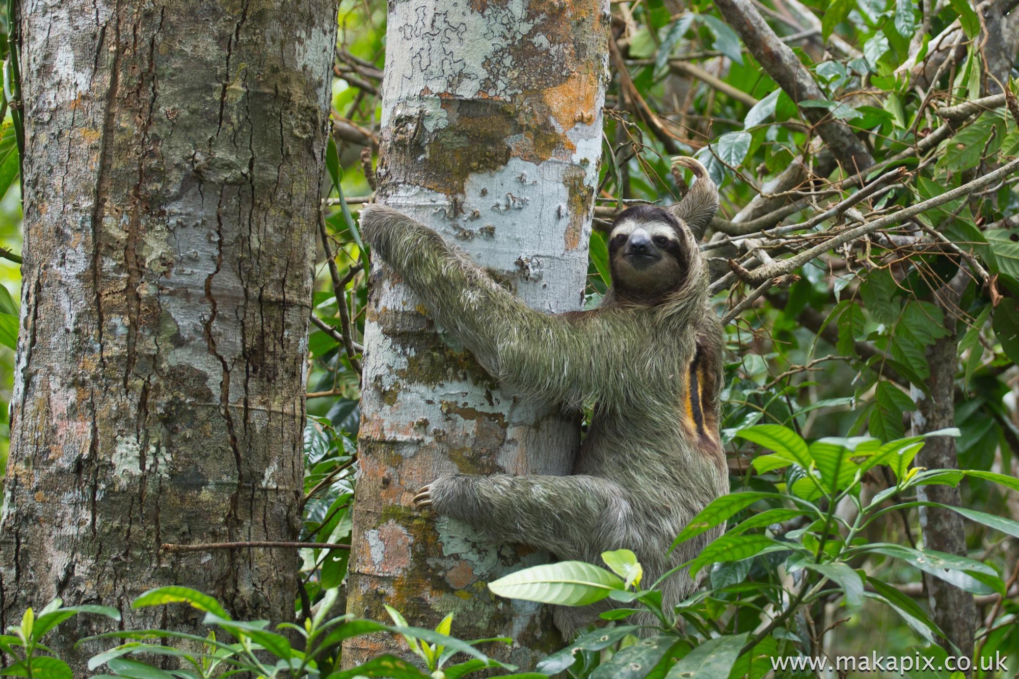 Three Toed Sloth, Costa Rica