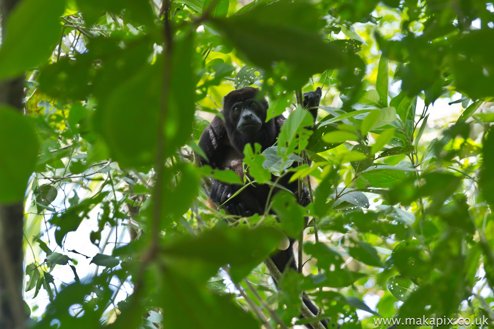 Mantled Howler Monkey, Costa Rica