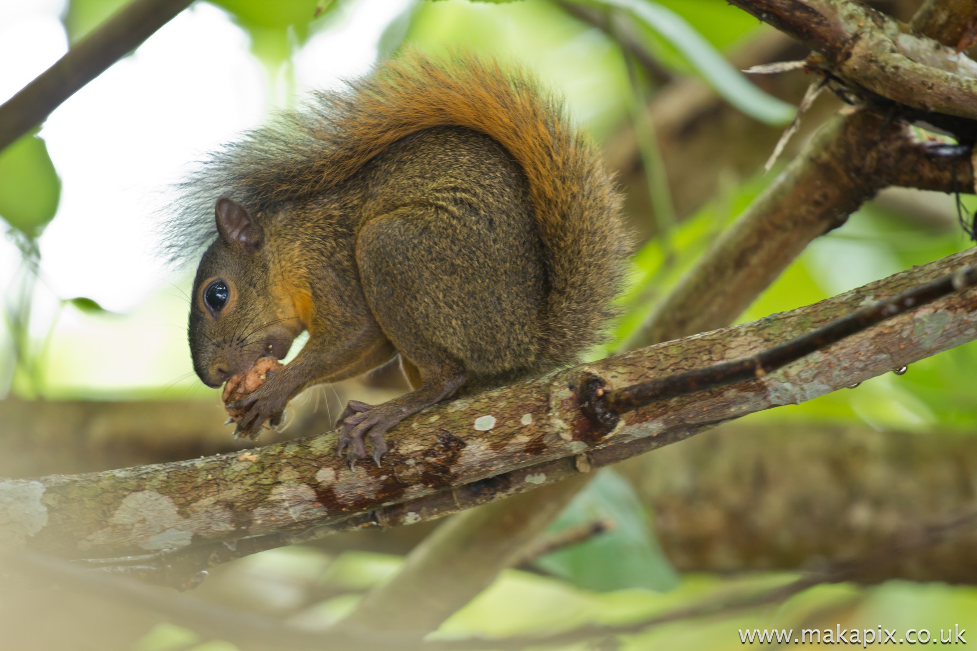 Squirrel, Costa Rica