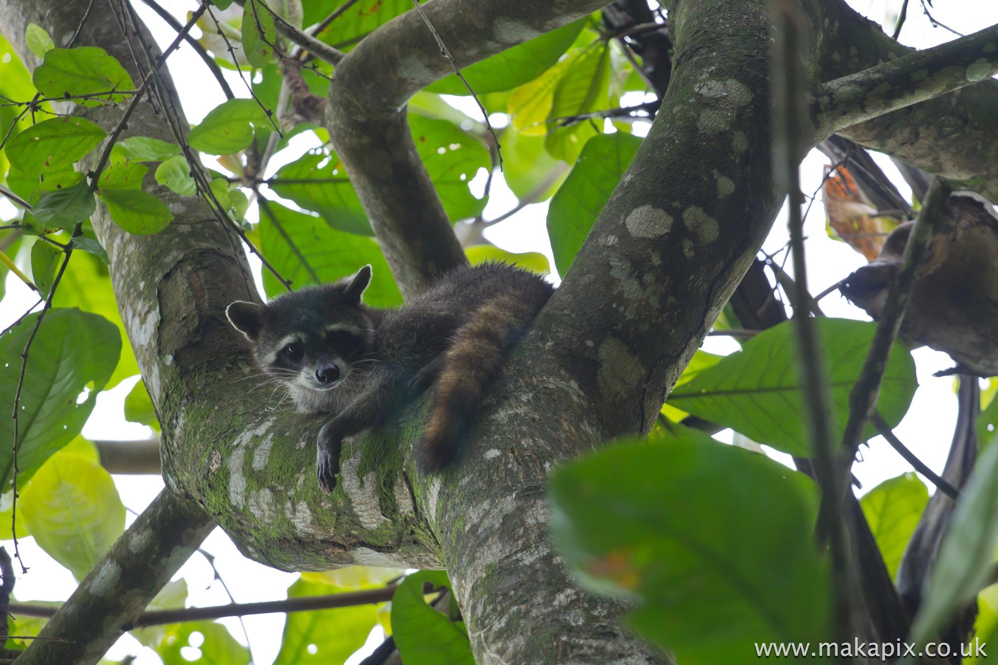 Raccoon, Costa Rica