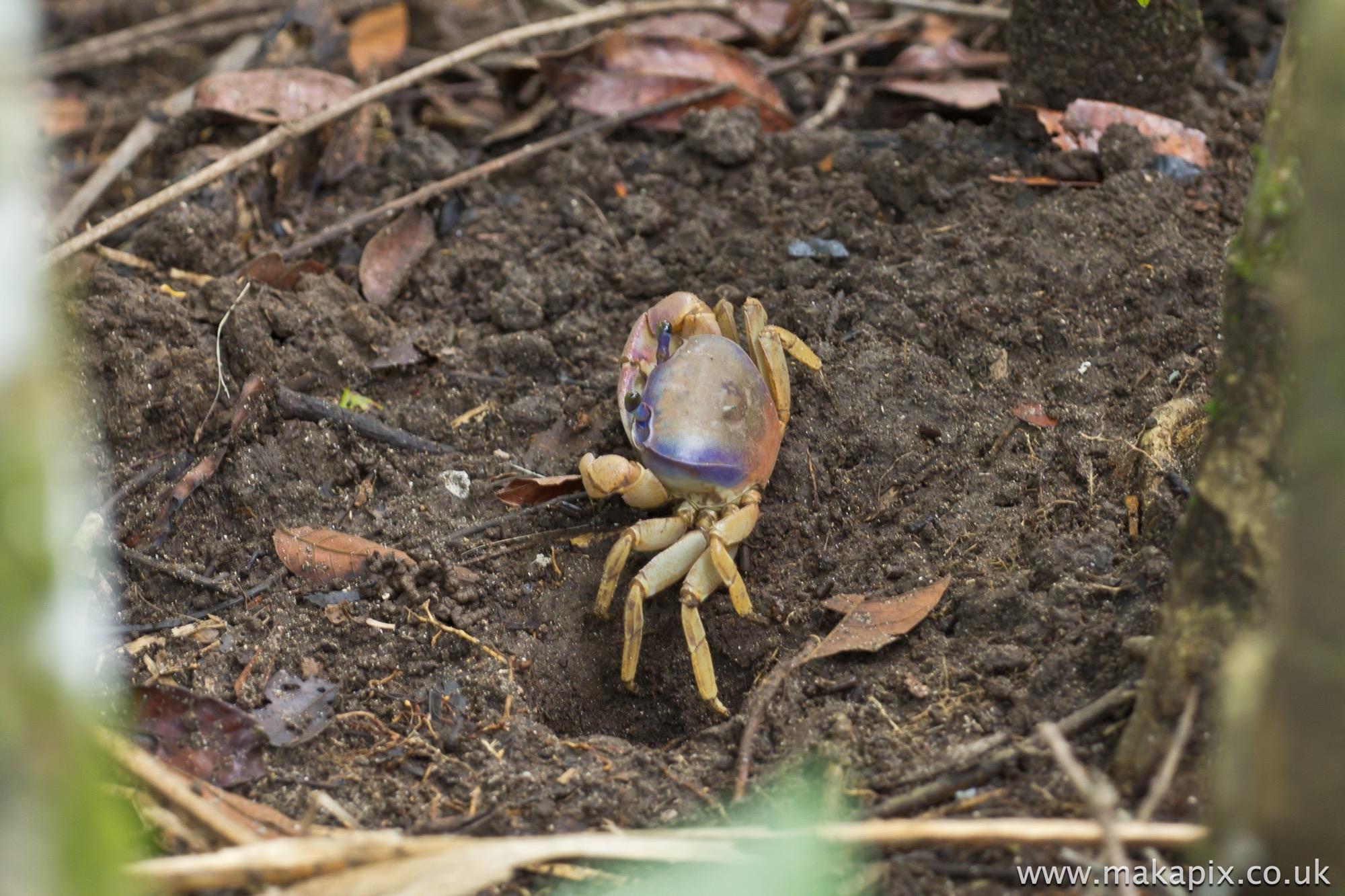 Crab, Costa Rica 2014
