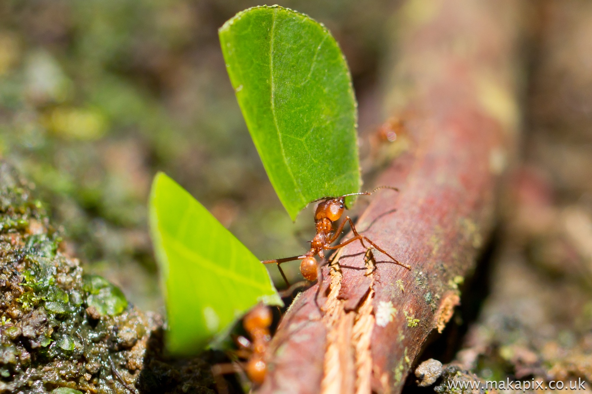 Leaf Cutter Ant Costa Rica 2014