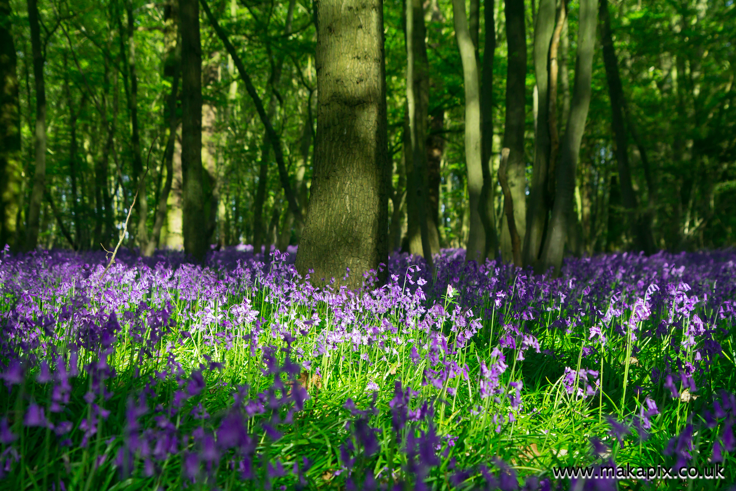 Bluebells in Cranham Brickfields, Essex, England
