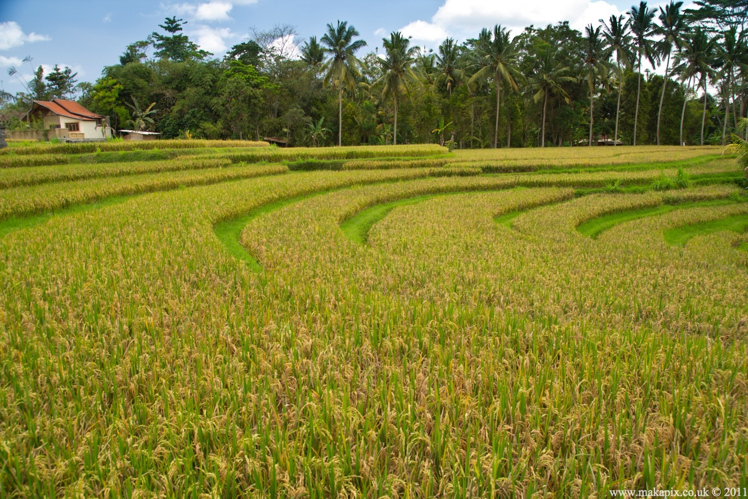 indonesia 2011 rice paddies