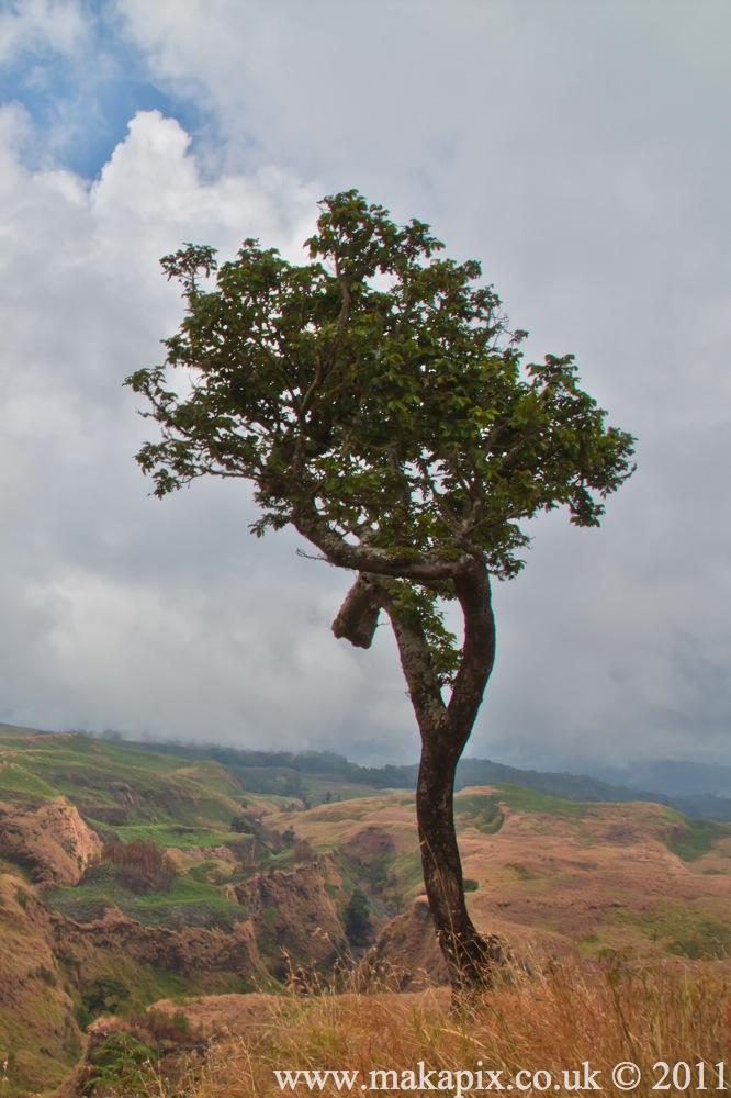 indonesia 2011 tree of asia