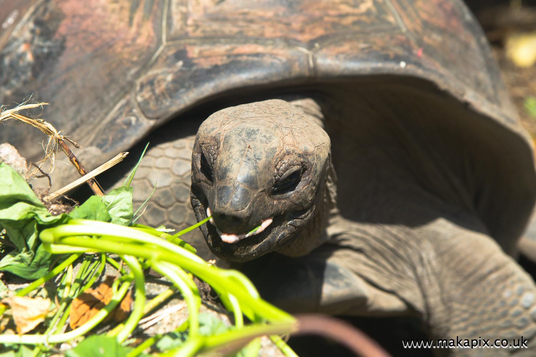 Aldabra Giant Tortoise, La Digue island, Seychelles