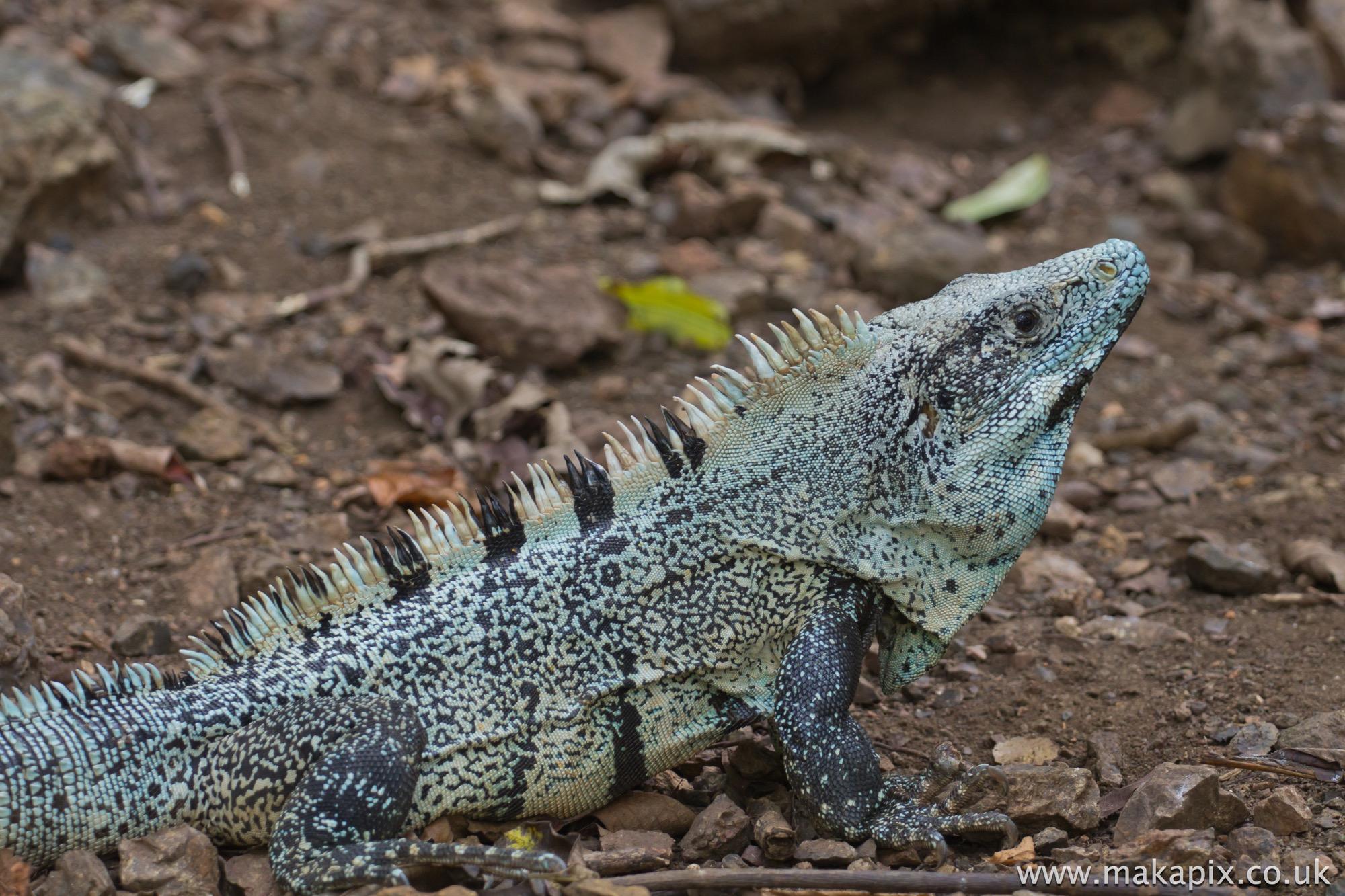 Ctenosaura Lizard, Costa Rica