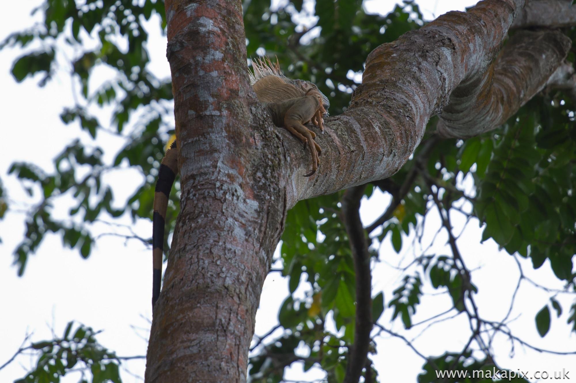 Green Iguana, Costa Rica