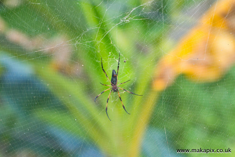 Palm spider, Mahe Island, Seychelles