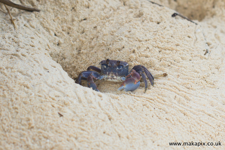 Ghost crab,  Mahe Island, Seychelles