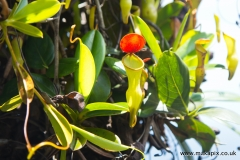 Nepenthes pervillei is the only pitcher plant found in the Seychelles