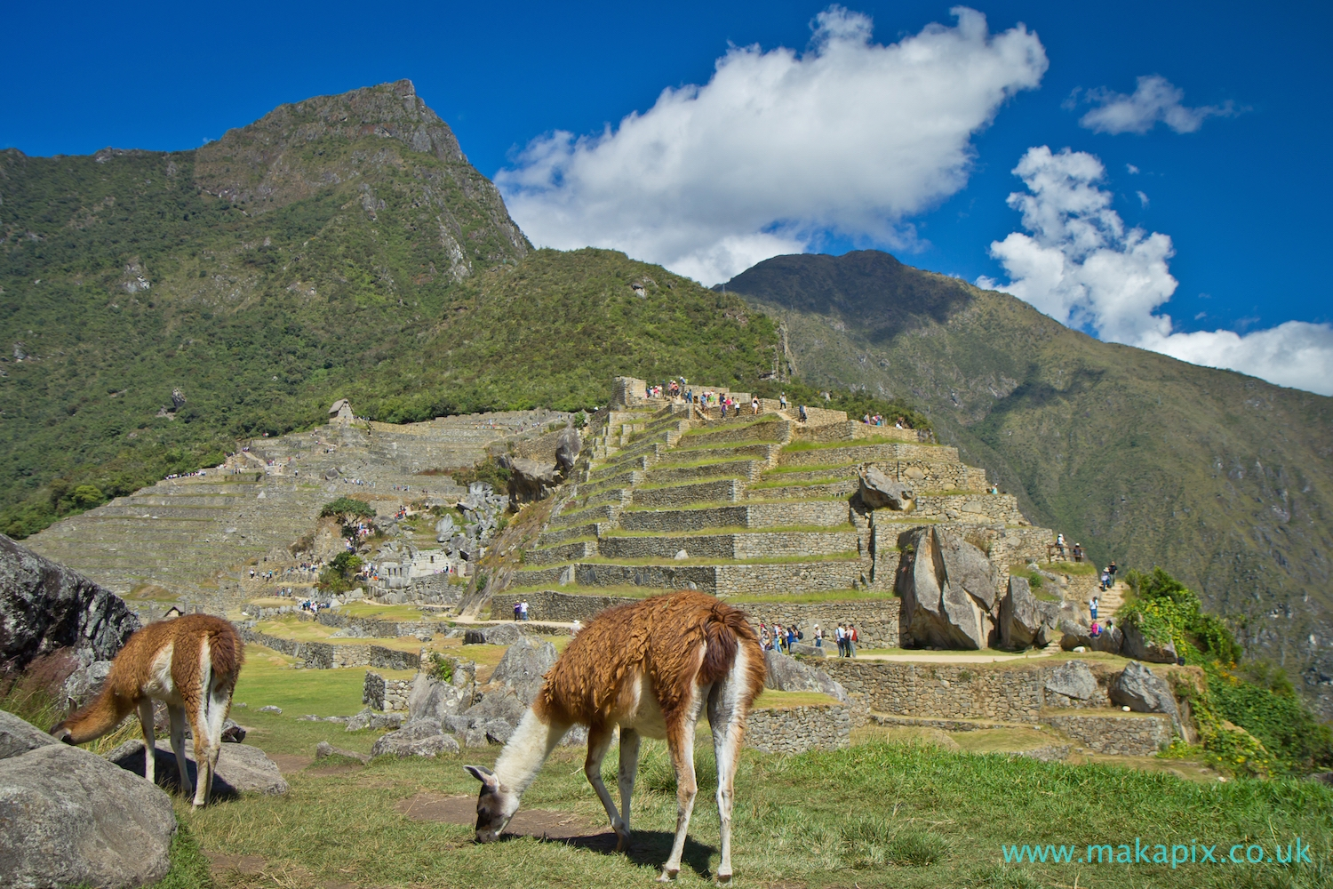 Machu Picchu Ruins and Lamas