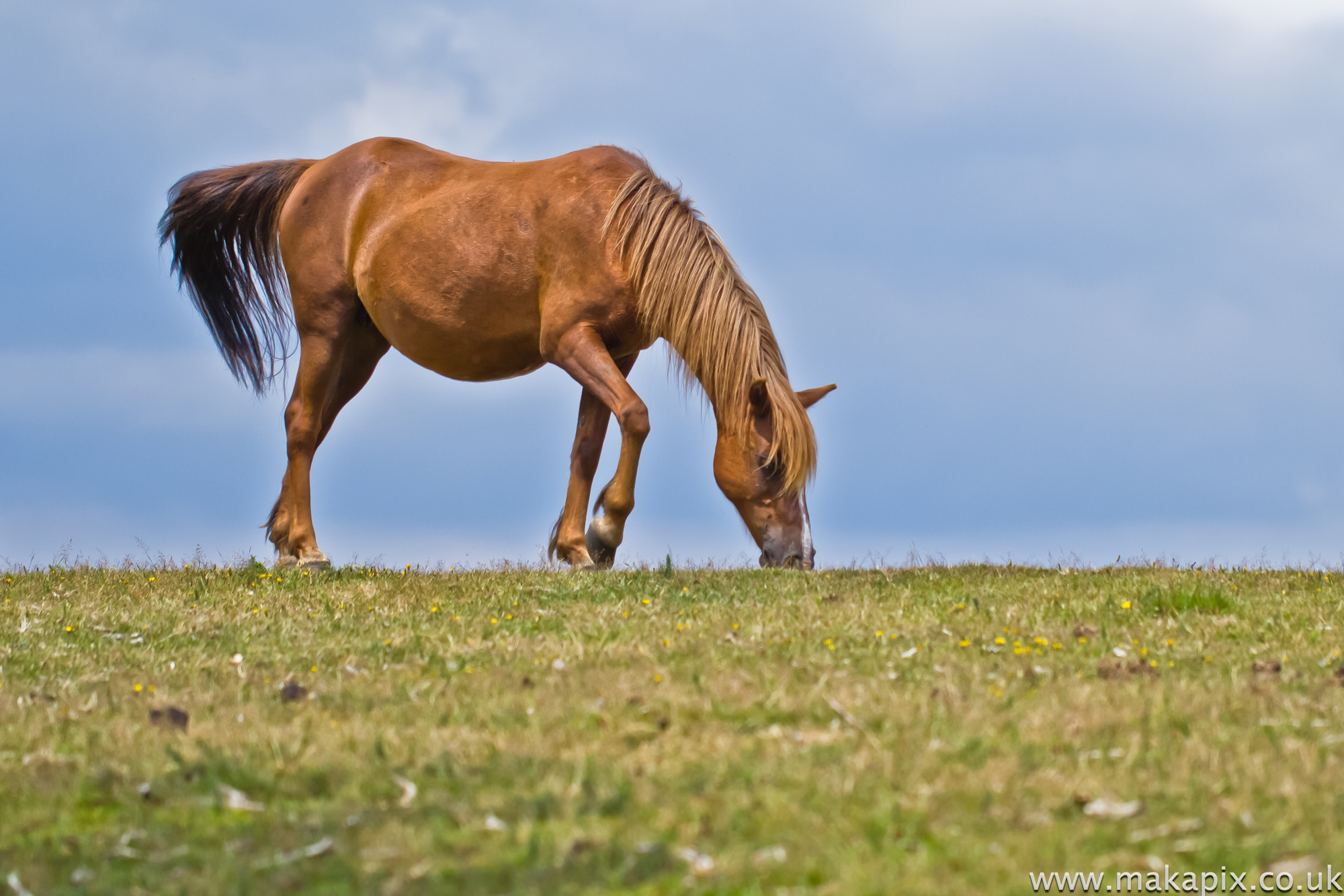 New Forest - Wild Horse