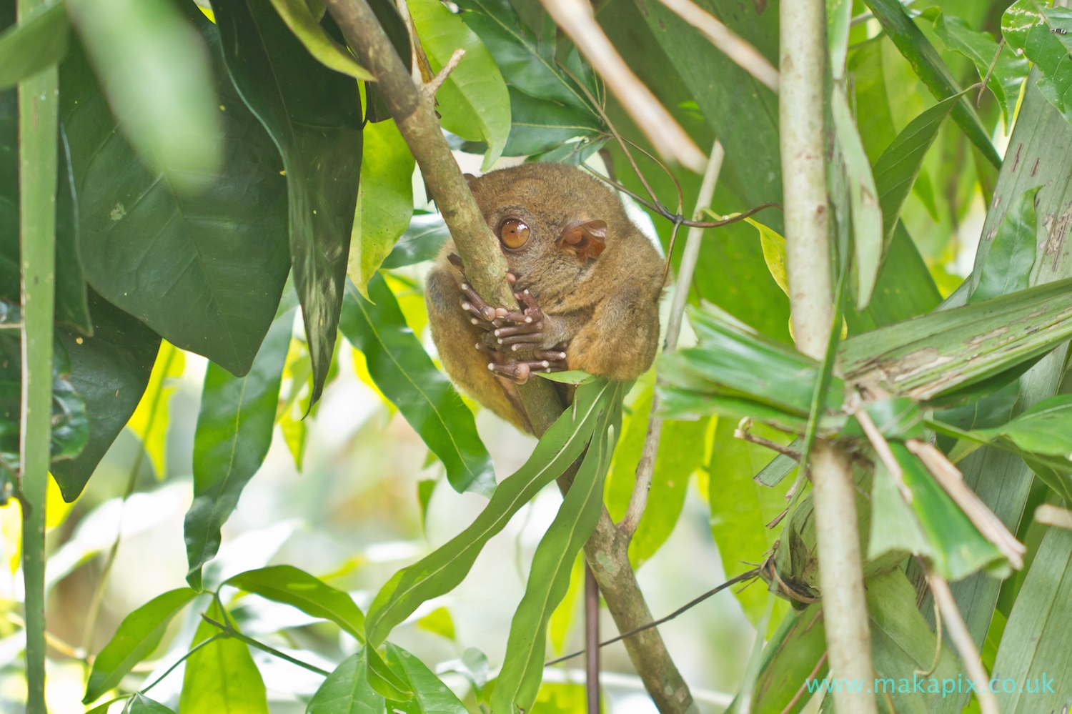 Tarsier Monkey