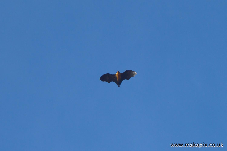 Fruit bat or Seychelles flying fox, Praslin island, Seychelles