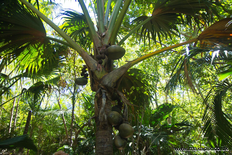 Coco de Mer palm, Praslin island, Seychelles