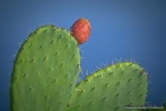 Cacti, Taormina, Sicily, Italy